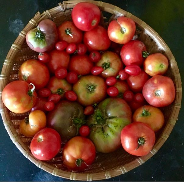 tomatoes-in-basket